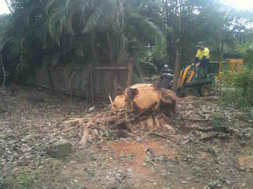 Fig stump being grinded