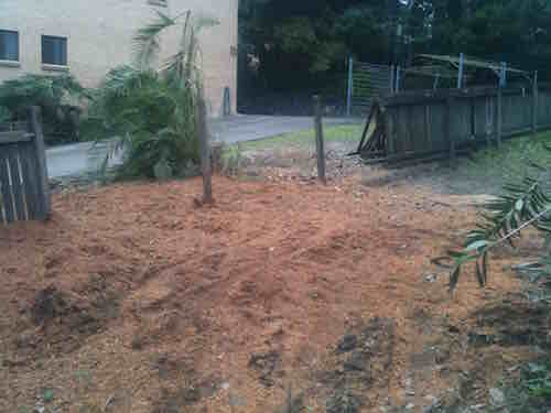 Mulch from fig stump