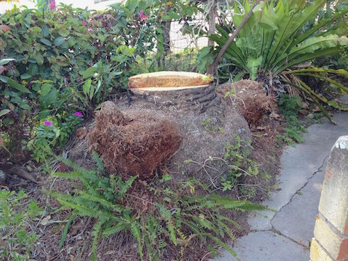 Palm stump in Brisbane garden