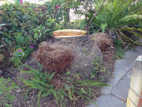 Palm stump in Brisbane garden