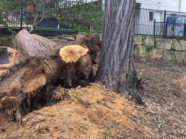 Rootball stump in Brisbane
