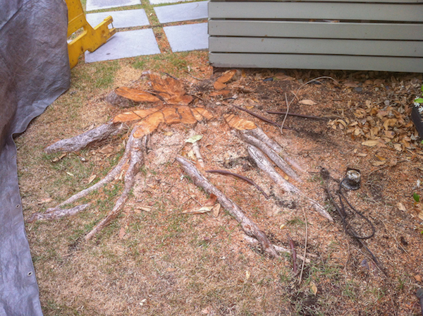 Surface root system in Brisbane